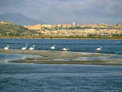 Fenicotteri a Cagliari, Sardegna, Italia, Mediterraneo. Acquista questo poster